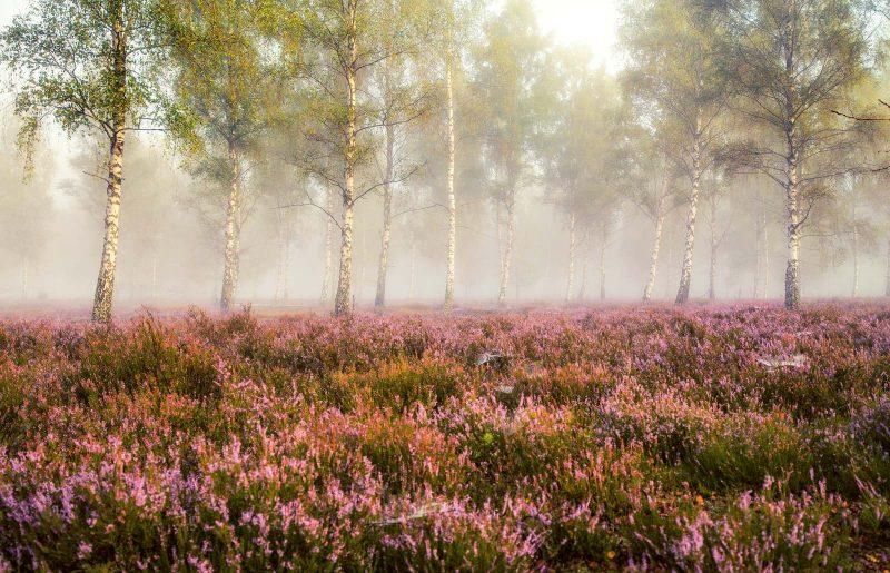 Am schönsten ist ein Besuch der Lüneburger Heide im Spätsommer, wenn die Heide blüht und die Landschaft mit einem rot-lila Blütenteppich überzieht.