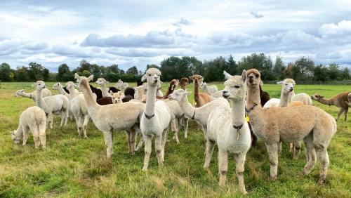 Auch wenn Alpakas weich und flauschig aussehen: Kuscheltiere sind sie nicht!