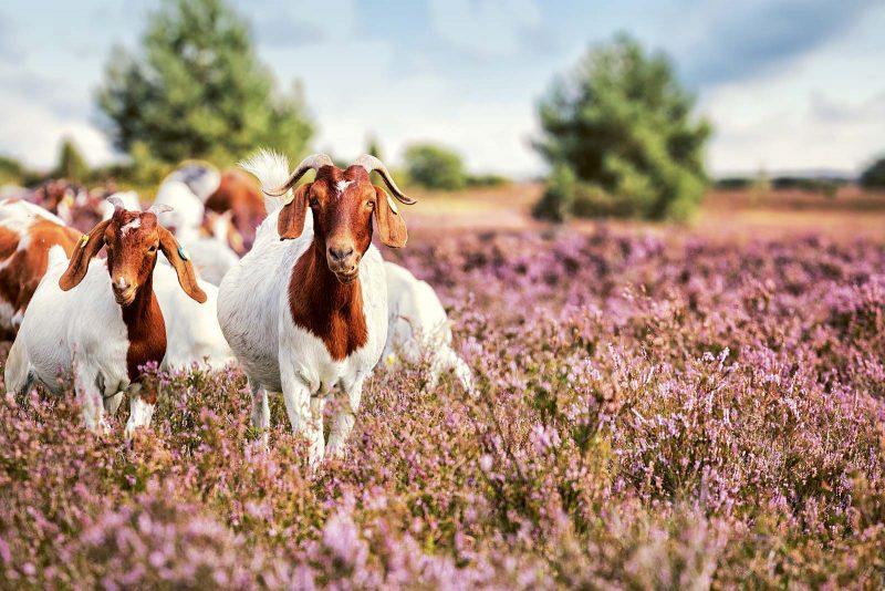 Ein Anblick, der offensichtlich auch die Ziegen erfreut.