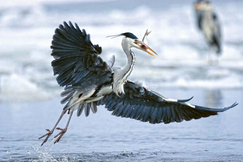 Graureiher auf Beutezug: Auch für Seevögel ist das Meer ein reich gedeckter Tisch.