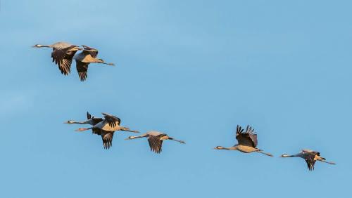 Wenn die Kraniche ziehen ... Am Neuenkirchener See kann man ihren Flug verfolgen.
