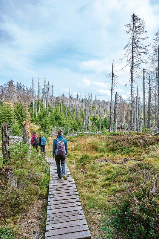 Schmale Bohlenstege führen den Wanderer durch die Moorlandschaft, in der unübersehbar der Borkenkäfer am Werk ist.
