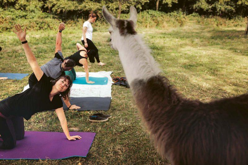 Kobra, Hund, Sonnengruß … Yoga auf der Alpaka- Weide lässt den Stress des Alltags schnell vergessen.