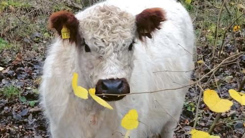 Galloway-Rinder: unermüdlich im Einsatz im Dienst der Natur