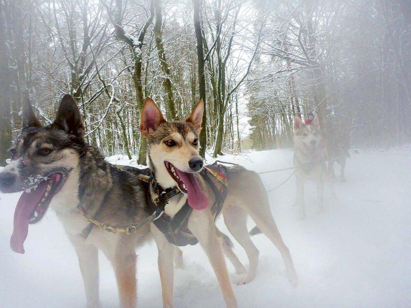 Unvergesslich: eine Schlittenhundtour in der verschneiten Rhön
