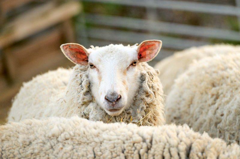 Ein tierischer Job: Auf der Schwäbischen Alb kommen Schafe als Landschaftspfleger zum Einsatz.