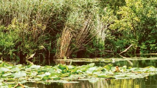 Seerosenblätter bedecken den Fluss stellenweise wie ein Teppich.