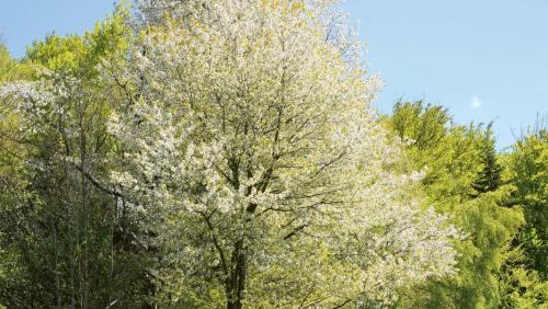 Obstbäume überziehen den Lallinger Winkel im Frühjahr mit ihrer Blütenpracht.